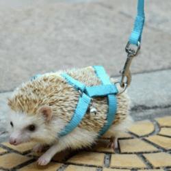 hedgehog on leash
